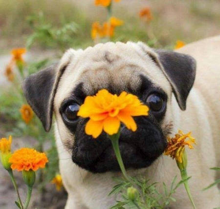 Pug looking at a flower