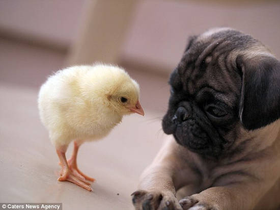 Pug looking at KFC the chick