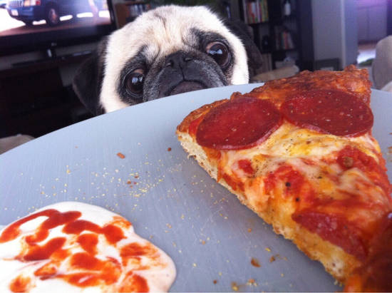 Pug looking at pizza