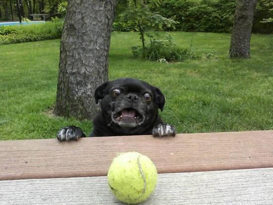 Pug looking at a tennis ball