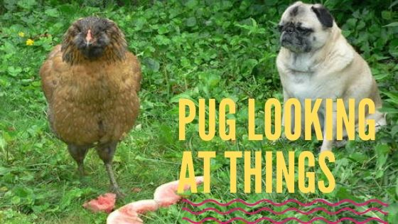 Pugs Looking at Things (Pictures)