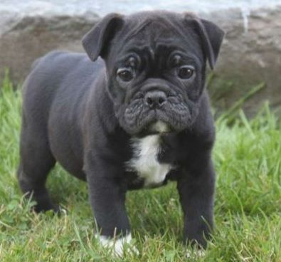 Black pug cross english bulldog - Miniature Bulldog