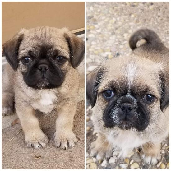 pug-zu-puppies-rossy