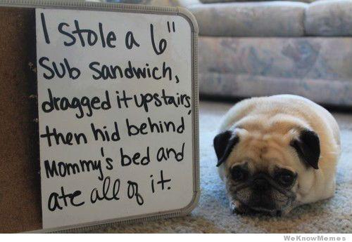 pug-meme-shaming