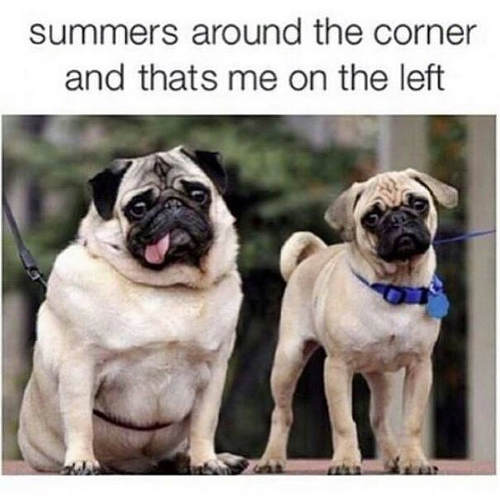 pug-meme-summer-fat-pug