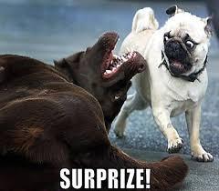 pug-meme-surprise