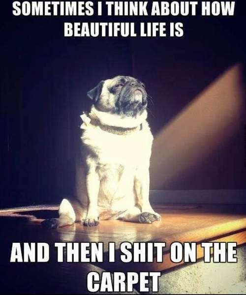 pug-sometimes-i-think-about-how-beautiful-life-is-and-then-i-shit-on-the-carpet