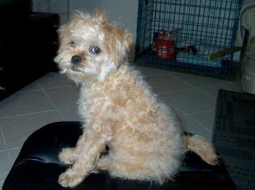 Broodle - poodle mix brussel griffon
