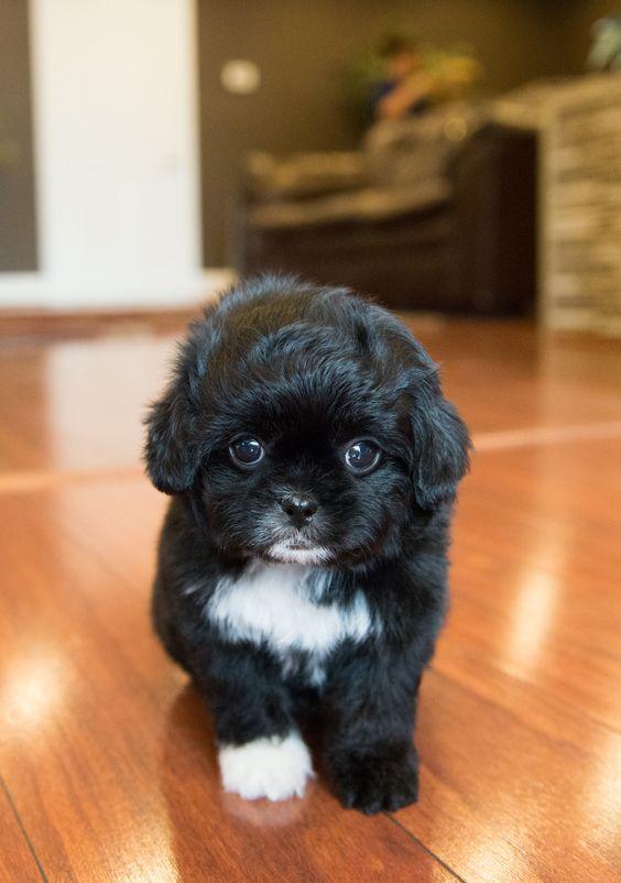 Pekepoo pekingese cross poodle