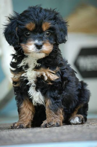 black and tan Cavapoo poodle king charles mix