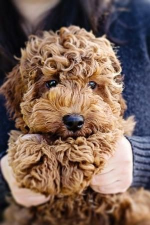 fluffy brown Labradoodle - poodle cross labrador