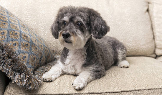 small Schnoodle poodle miniature schnauzer mix