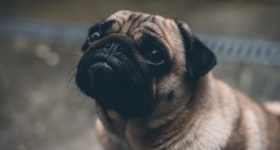 7 Myths About Pugs That Need To Be Busted Today