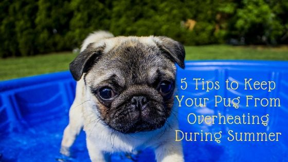 5 Tips to Keep Your Pug From Overheating During Summer