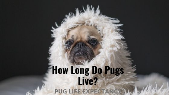 How Long do Pugs Live? – Pug Life Expectancy