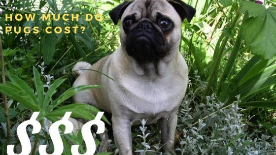 How much is a Pug? Guide to Buying a Pug Puppy