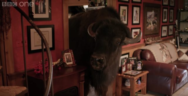 living with buffalo