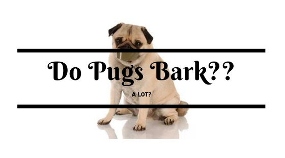 Pug Barking – Do Pugs Bark?
