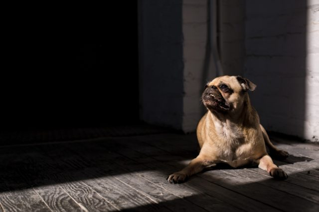 pug in shade