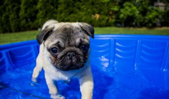 Pug Swimming in Summer