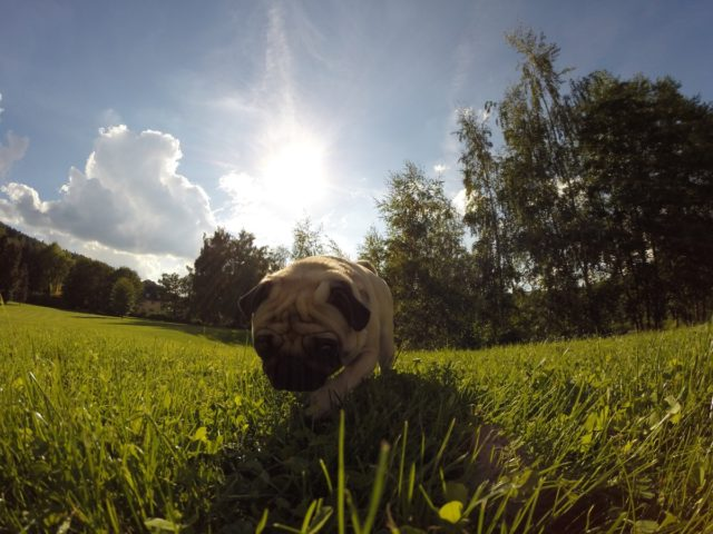 Pug walking on grass