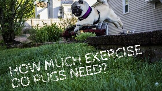 Pug Exercise – How Much Exercise Do Pugs Need?
