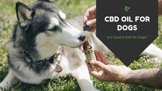 CBD Oil for Dogs – Is it Good & Safe for Dogs?
