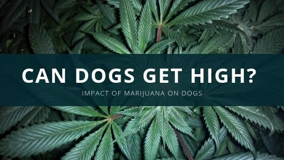 Can Dogs Get High? – Impact of Marijuana on Dogs