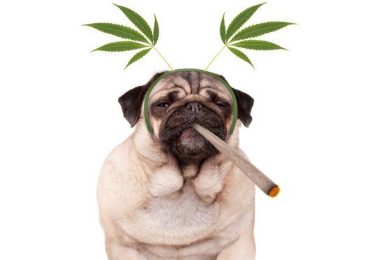 pug smoking marijuana
