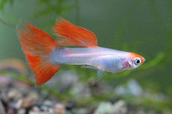 pet freshwater fish