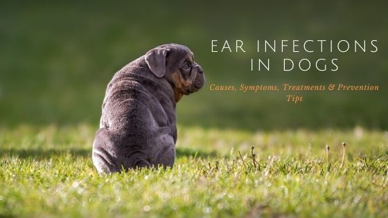 Ear infections in Dogs – Causes, Symptoms, Treatments & Prevention Tips