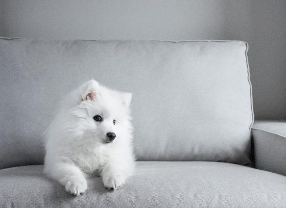 white dog on sofa
