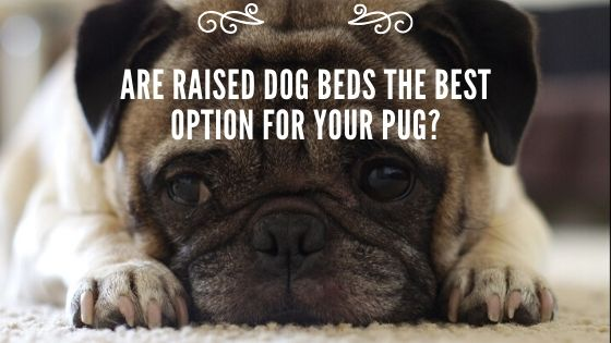 Are Raised Dog Beds the Best Option for Your Pug?