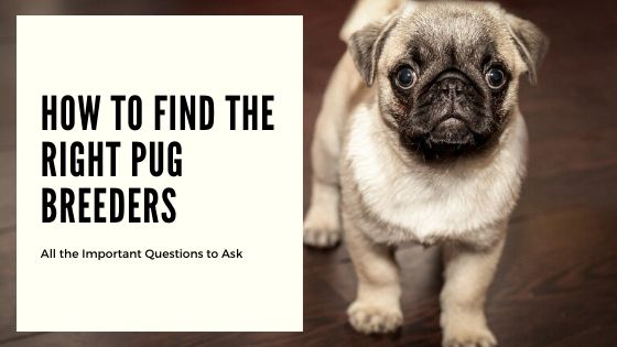 How to Find the Right Pug Breeders – Questions to Ask When Choosing a Dog Breeder