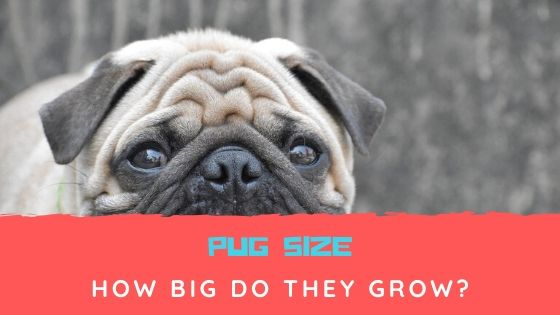 Pug Size – How Big Do Pugs Grow?