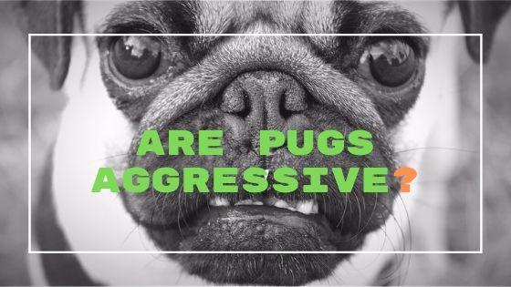 Are Pugs Aggressive?