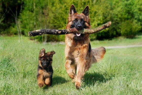 German Shepherds puppy parent