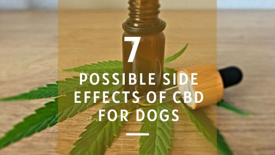 7 Possible Side Effects of CBD for Dogs