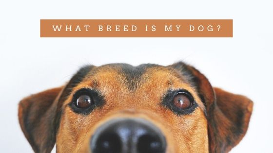 What Breed Is My Dog? – Measurements