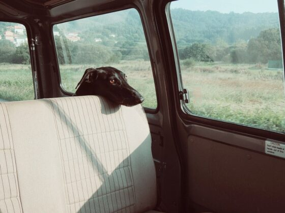 black dog in car