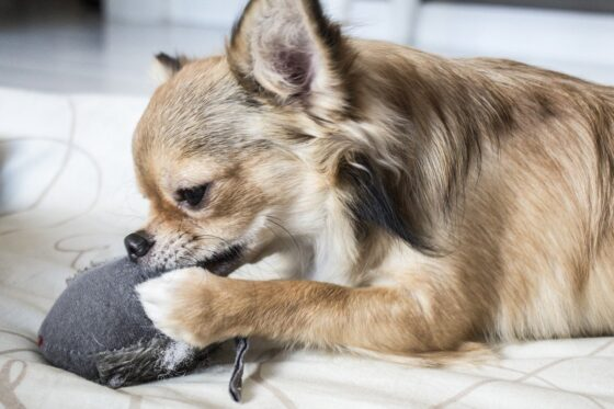 chihuahua chew toy