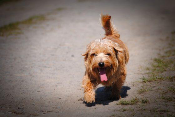 thirsty dog norfolk terrier