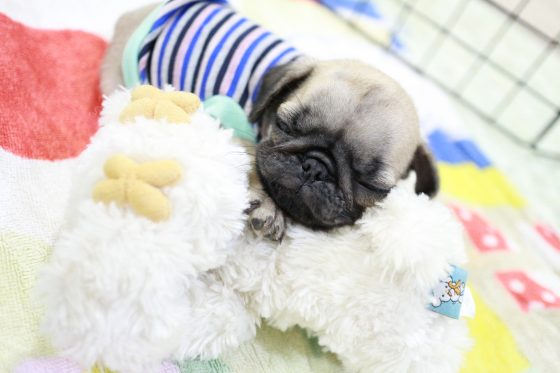 pug puppy with toys