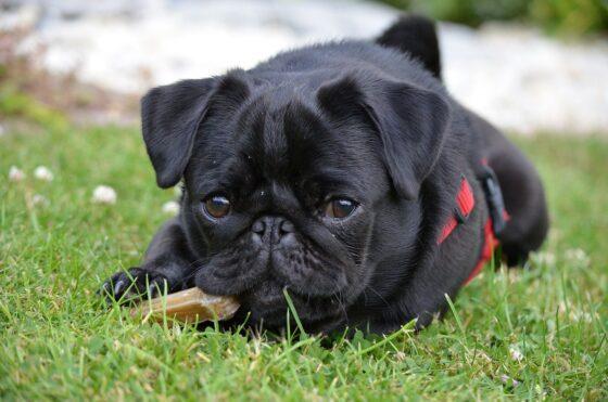 black pug chewing bone outside