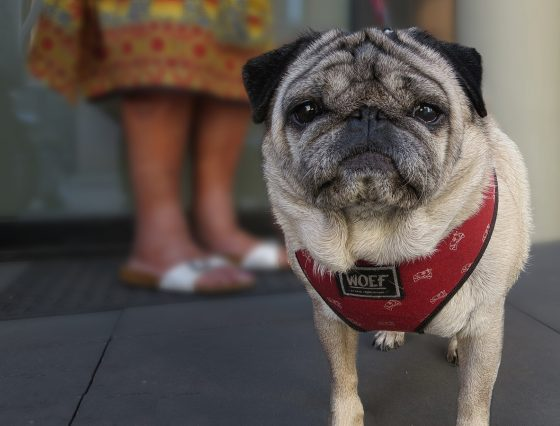 pug with red harness