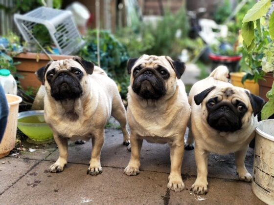 three fawn pugs outside