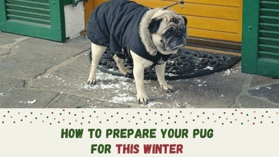 How to Prepare Your Pug for Winter
