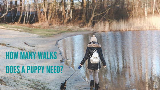 How Many Walks Does a Puppy Need?