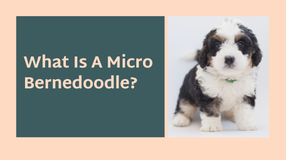 What Is A Micro Bernedoodle?