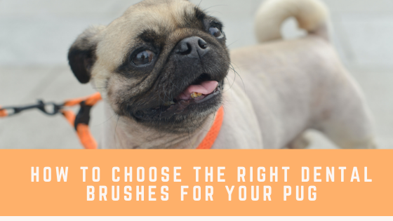 How to Choose the Right Dental Brushes for Your Pugs